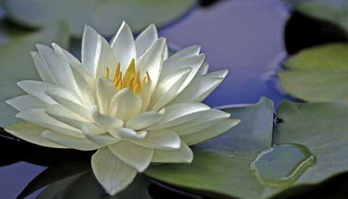 significado de la flor de loto blanca