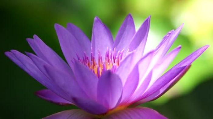 significado de la flor de loto púrpura
