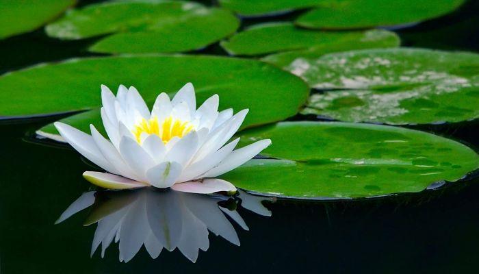 significado de la flor de loto