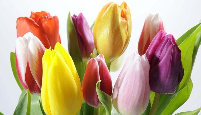 significado de las flores - tulipanes