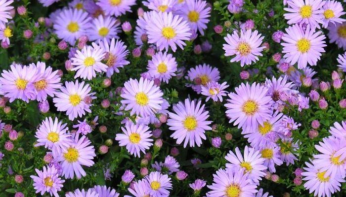 significado de las flores - flor aster
