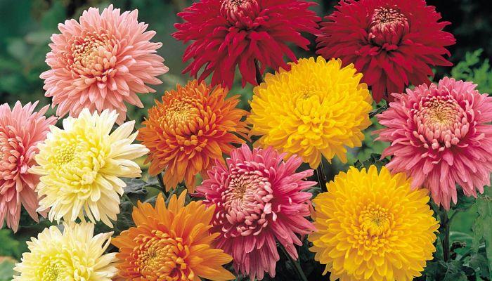 significado de las flores - Crisantemos