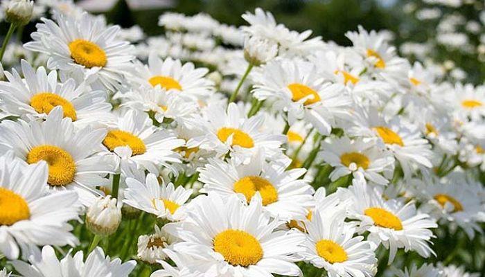 significado de las flores - margaritas