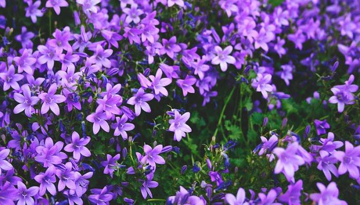 significado de las flores - ,lila