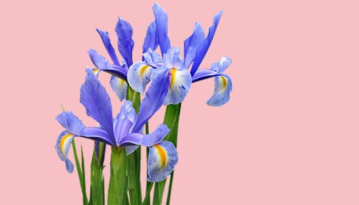 significado de las flores - Iris