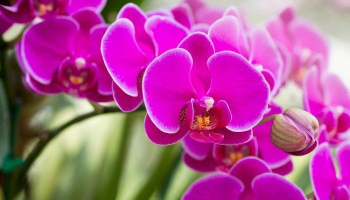 significado de las flores - Orquideas