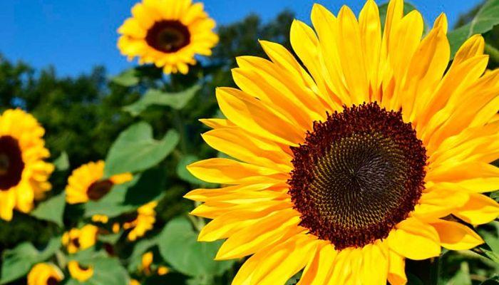 significado de las flores - girasoles