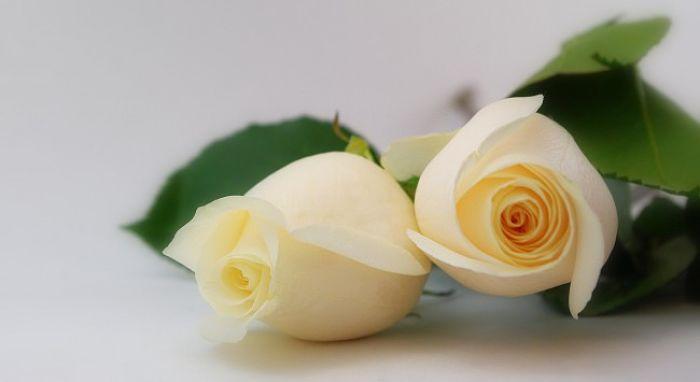 significado de las rosas blancas