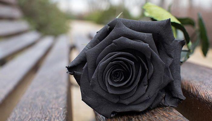 significado de las rosas negras