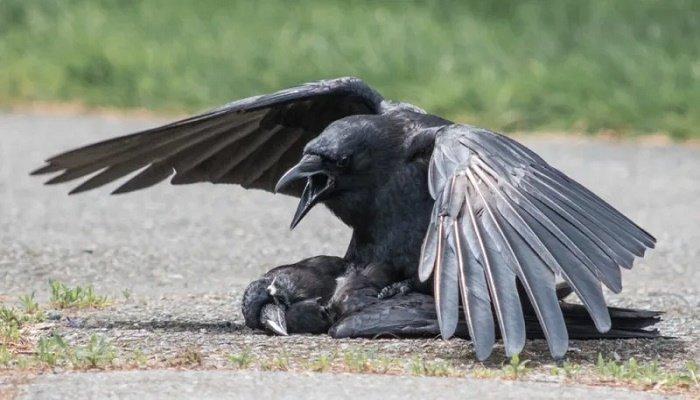 soñar con cuervos