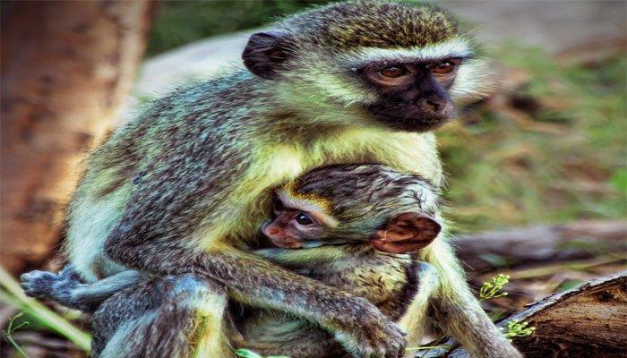 Soñar con monos